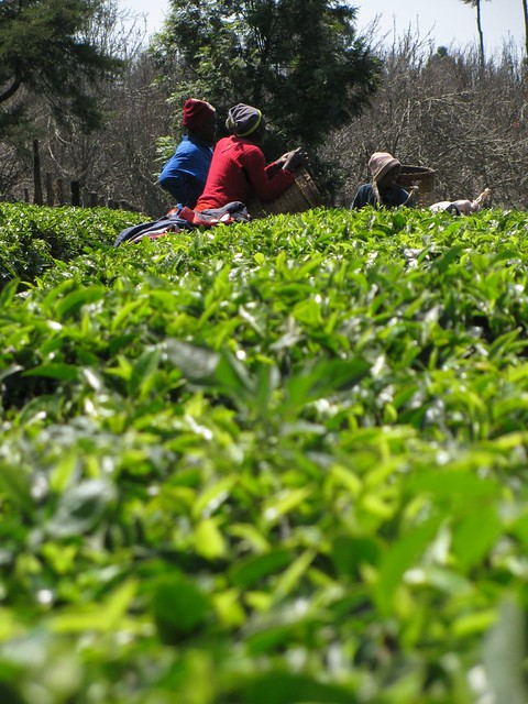 Picking tea in Limuru, Kenya