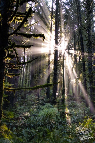 Sunlight through tree @ Ecola State Park | by The Flannel Photographer