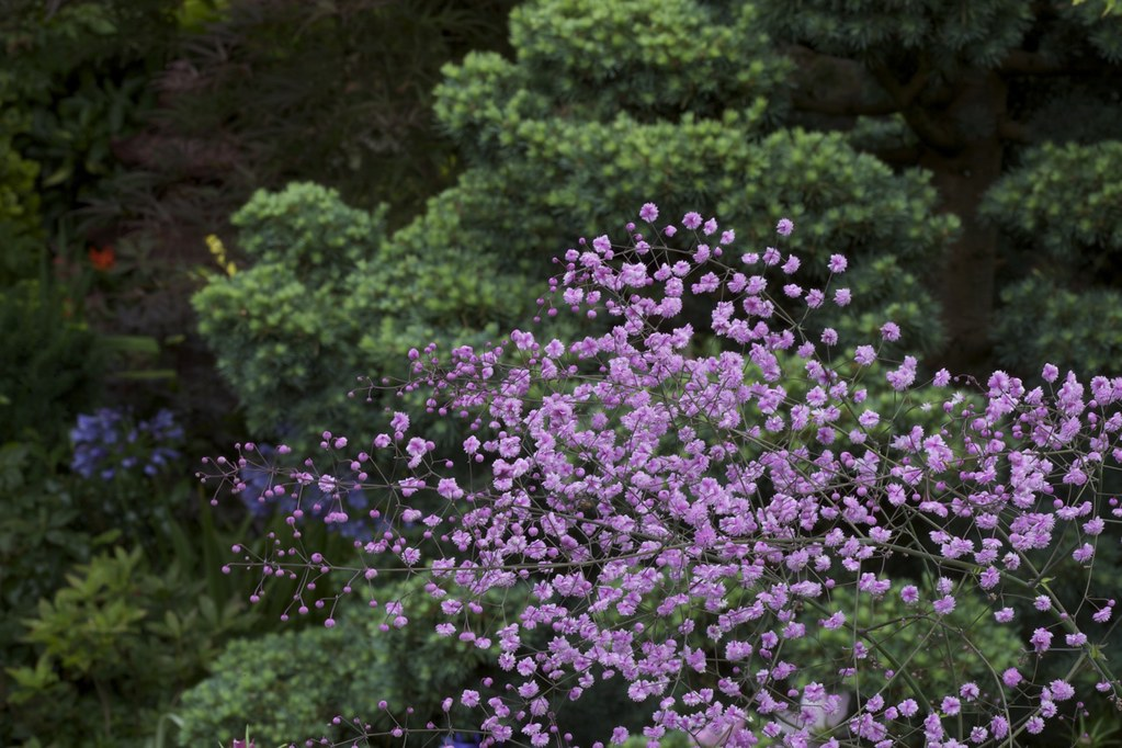 Six Feet Tall Thalictrum Delavayi Hewitt S Double In The