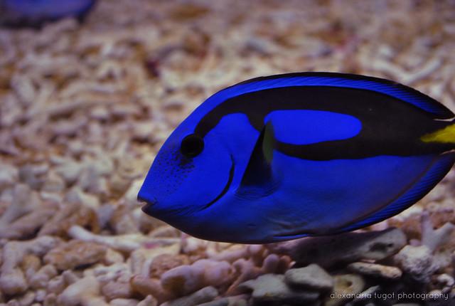 Dory regal blue tang fish flickr photo sharing for Blue tang fish facts
