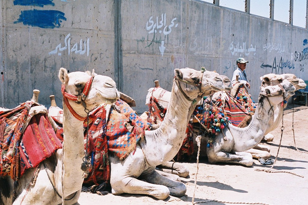 蓄勢待發的駱駝們