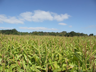 Field of Dreams / Field of Corn | by Stephen & Claire Farnsworth