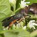 Squash Vine Borer Melittia cucurbitae (Hodges#2536)_1240