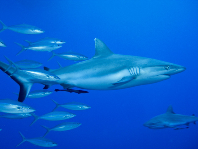 silvertip shark | This image is licensed under a Creative ...