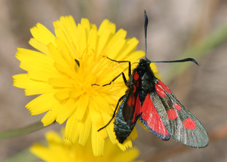 Five-Spot Burnet Moth - Zygaena trifolii | by HappySnapper_1