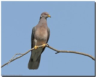 Band-Tailed Pigeon | by birdsforlife