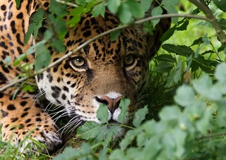 The Jaguar (Panthera onca) Big Cat | by robwrightphotography