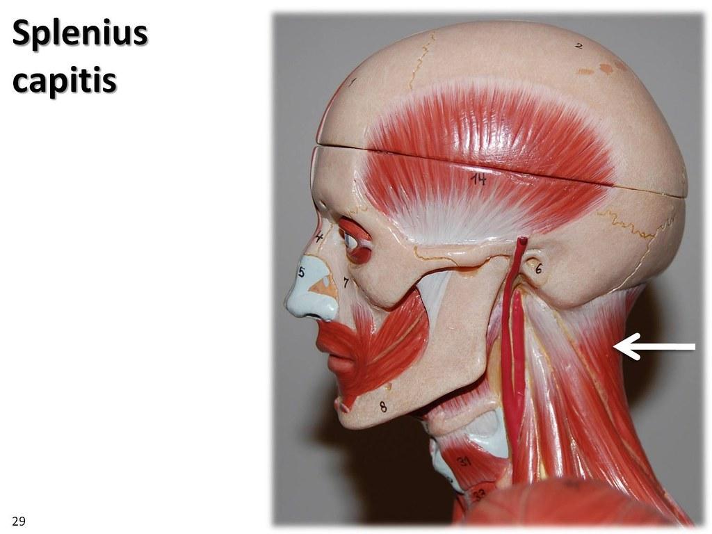 splenius capitis  lateral view
