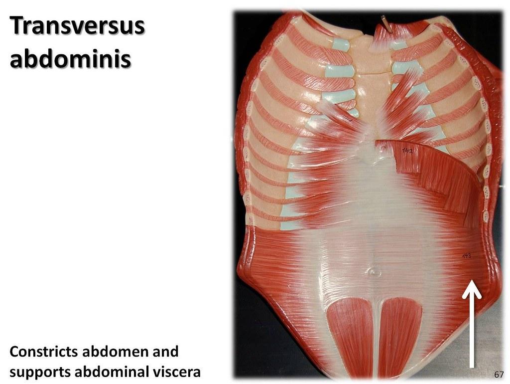 Transversus abdominis, anterior abdomen - Muscles of the U…  Flickr