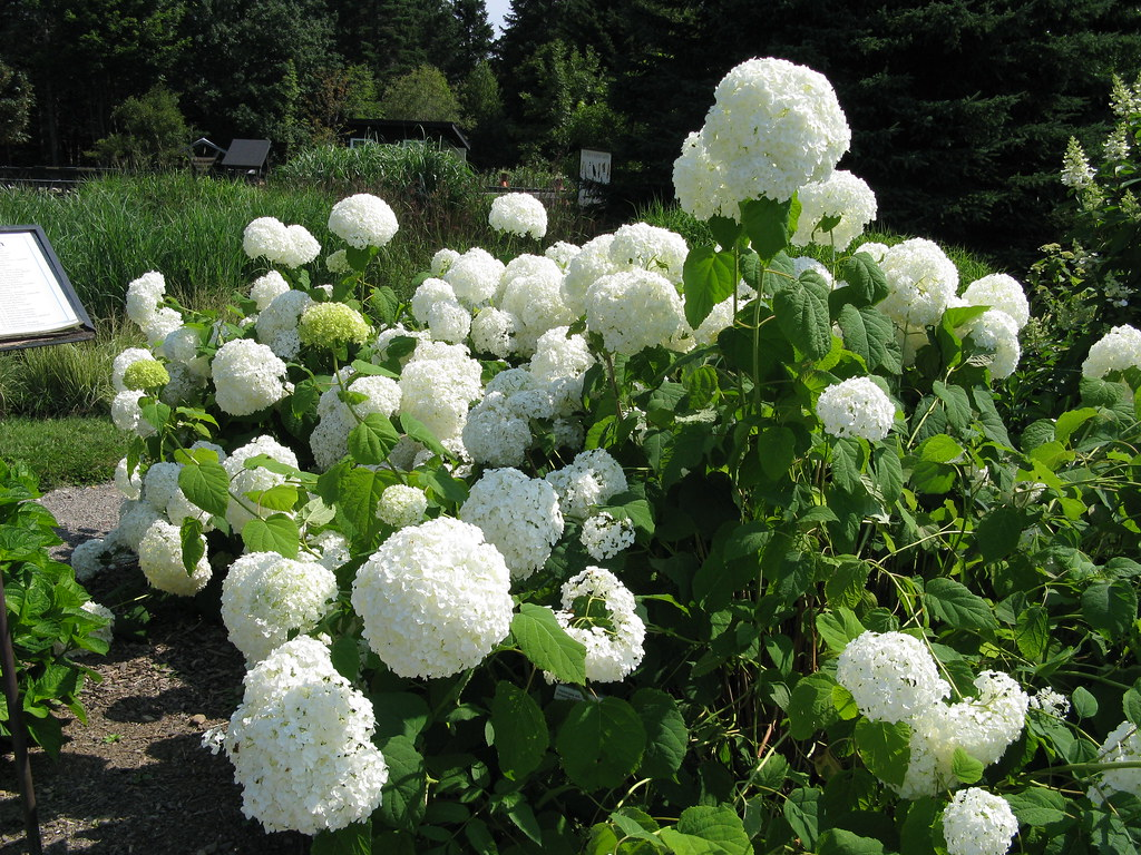 hydrangea arborescens 39 annabelle 39 kingsbrae garden flickr. Black Bedroom Furniture Sets. Home Design Ideas