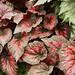Begonia 'Vesuvius'