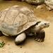 ガラパゴスゾウガメ/Galapagos tortoise