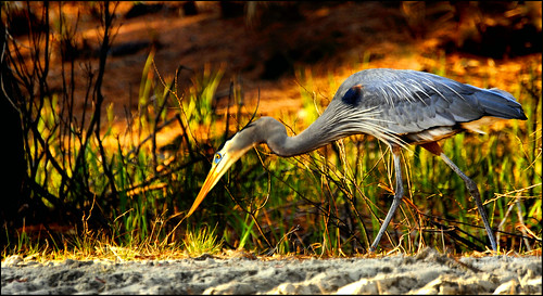 HERON | by photogtom43
