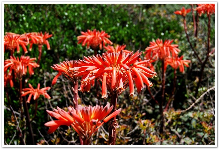13-cveti algarve