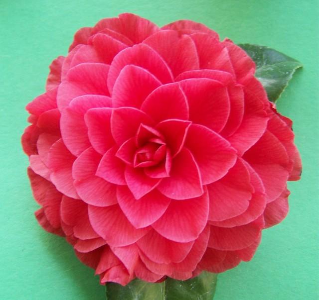 Red camellia nuccio 39 s bella rosa flickr photo sharing for Camelia rossa
