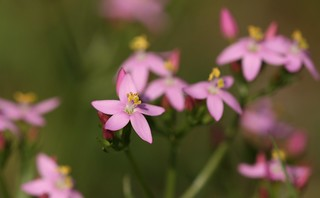 Common centaury (Centaurium erythraea) - by Dean Morley, on flickr.