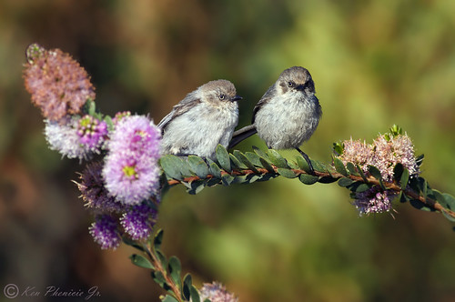 Bushtits | by Ken Phenicie Jr.