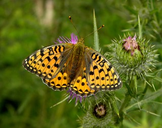 Dark Green Fritillary | by sandlings