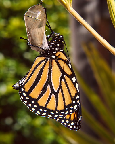 Monarch Life Cycle — 17 of 20 | by SidPix