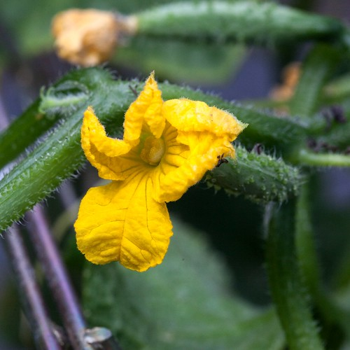cucumber blossoms & babies | by Married with Dinner