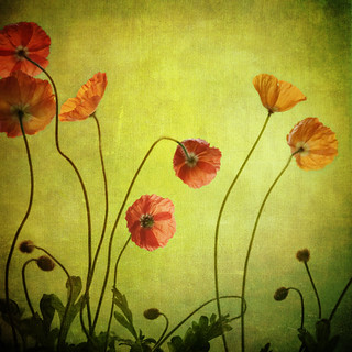 poppies from behind | by leaping gazelle