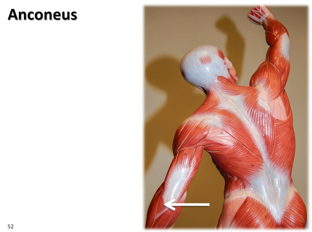 Anconeus, dynamic pose - Muscles of the Upper Extremity Vi…   Flickr
