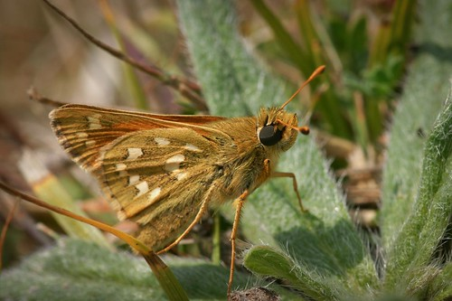 Silver Spotted Skipper (Hesperia comma) | by DJLDorset (Takin' a break for a while)