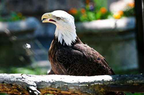 North American Bald Eagle | by Potter Park Zoo