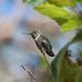 My Little Hummingbird