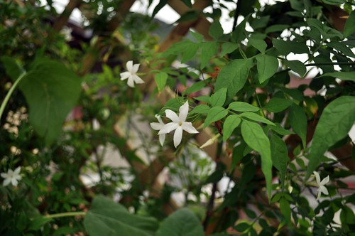 jasmin c 39 est un jasmin qui perd ses feuilles l 39 hiver afin flickr. Black Bedroom Furniture Sets. Home Design Ideas