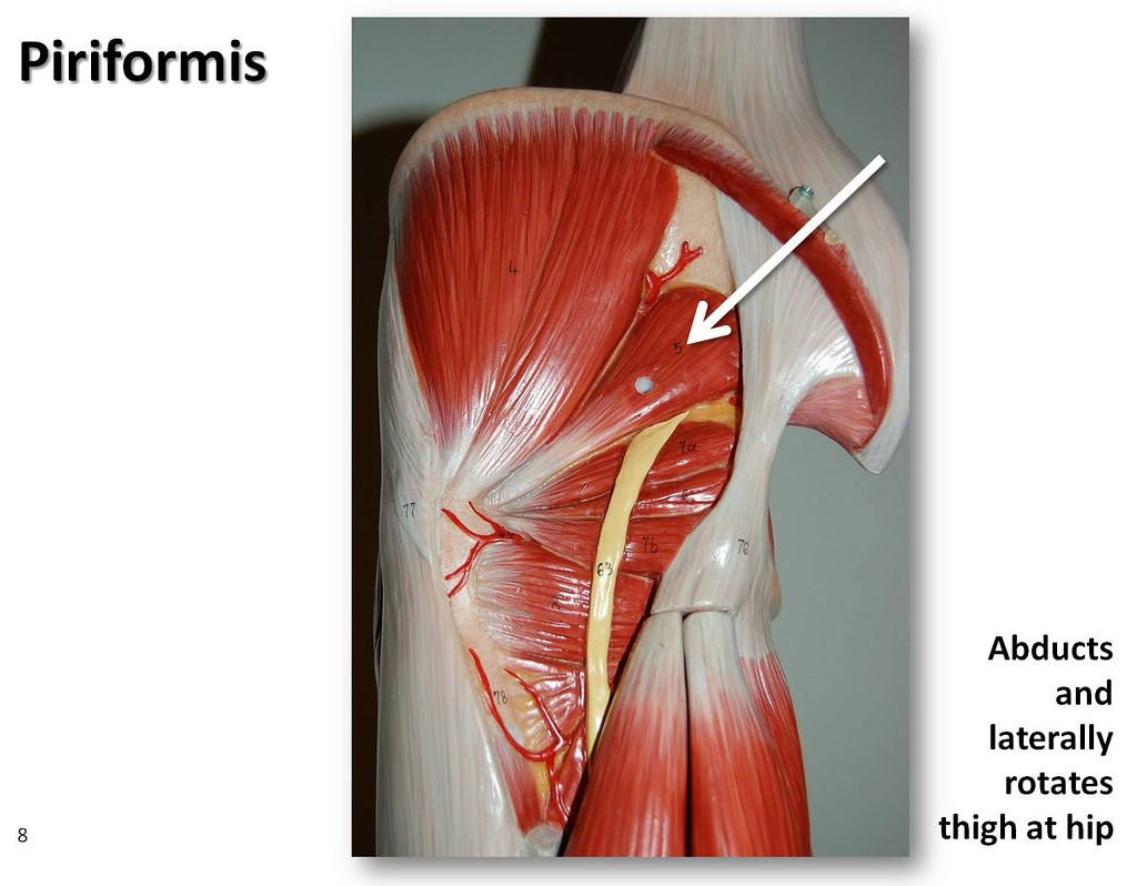 Piriformis - Muscles of the Lower Extremity Anatomy Visual… | Flickr