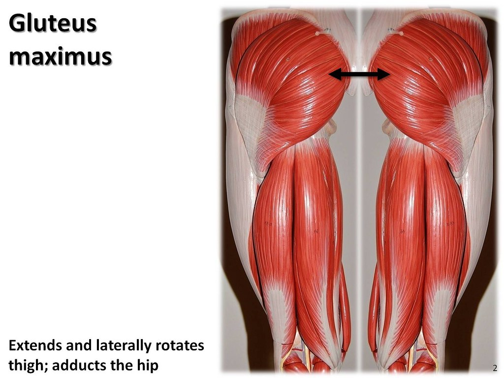 Gluteus maximus - Muscles of the Lower Extremity Anatomy V… | Flickr