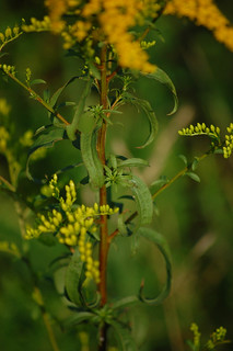 Solidago juncea- Early Goldenrod | by sheryl2010