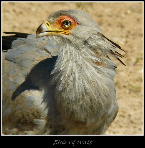 Secretary bird. | by LC's Eye (Wild Images of Africa)