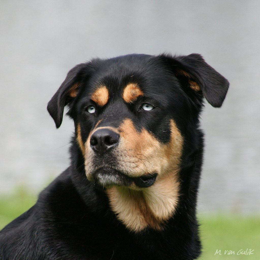 rottweiler - husky mix | ridgebacks | Flickr