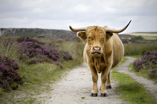 Its another highland cow from Baslow Edge... (August 2010 #1) | by Lazlo Woodbine