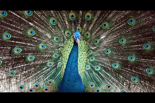 Dancing Peacock | by Atul Tater