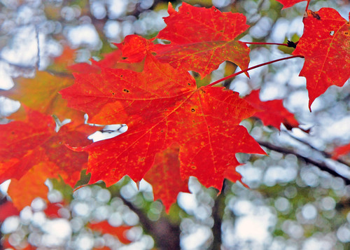 Cheery Red Maple | by Mary Vican