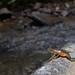 Atelopus limosus female showing natural setting