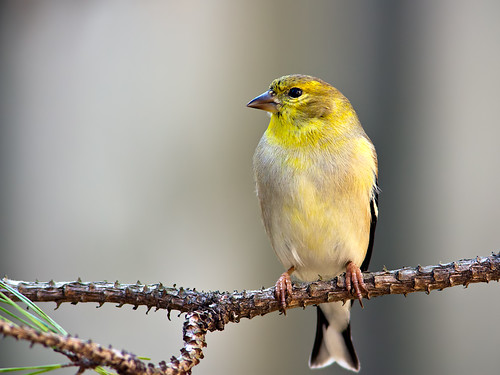 American Goldfinch | by Kevin Click