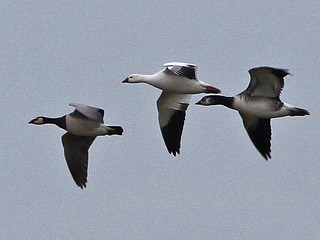Ross's, Barnacle & hybrid Geese, Cley (Norfolk), 3-Jan-11 | by Dave Appleton