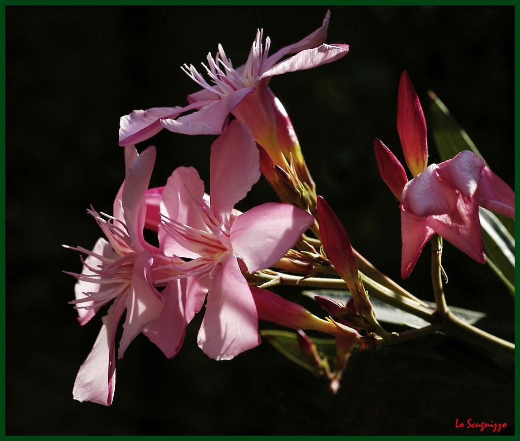Oleandro Nerium Oleander L View Large Wwwyoutubecom Flickr