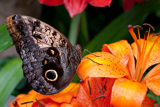 Butterfly and Orange Flower | by Manu_H