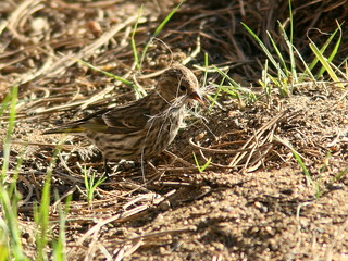 Pine Siskin gathering nest material 20100617 | by Kenneth Cole Schneider