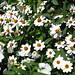 Zinnia angustifolia 'crystal white'