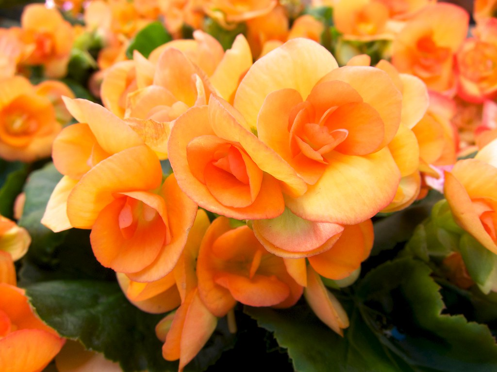 apricot rieger begonia ��������� beautifulcataya flickr