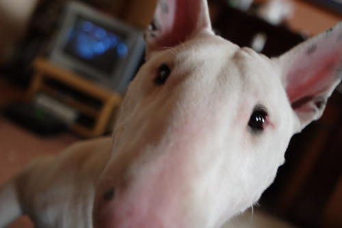 Helloooo! | by Spud the Bull Terrier