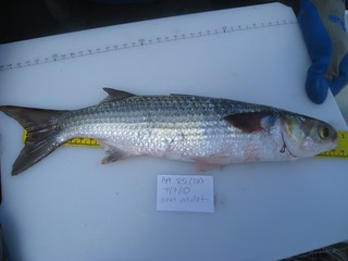 striped mullet | by wfsu.org
