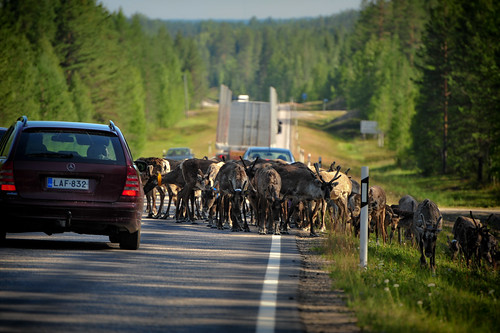 Reindeer on the Road | by goingslowly