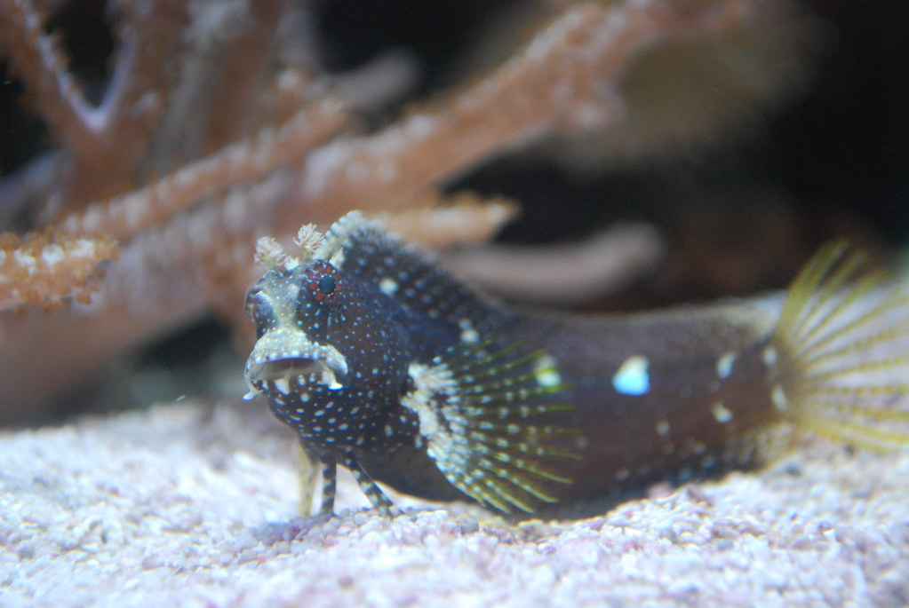 Starry Blenny Fish images